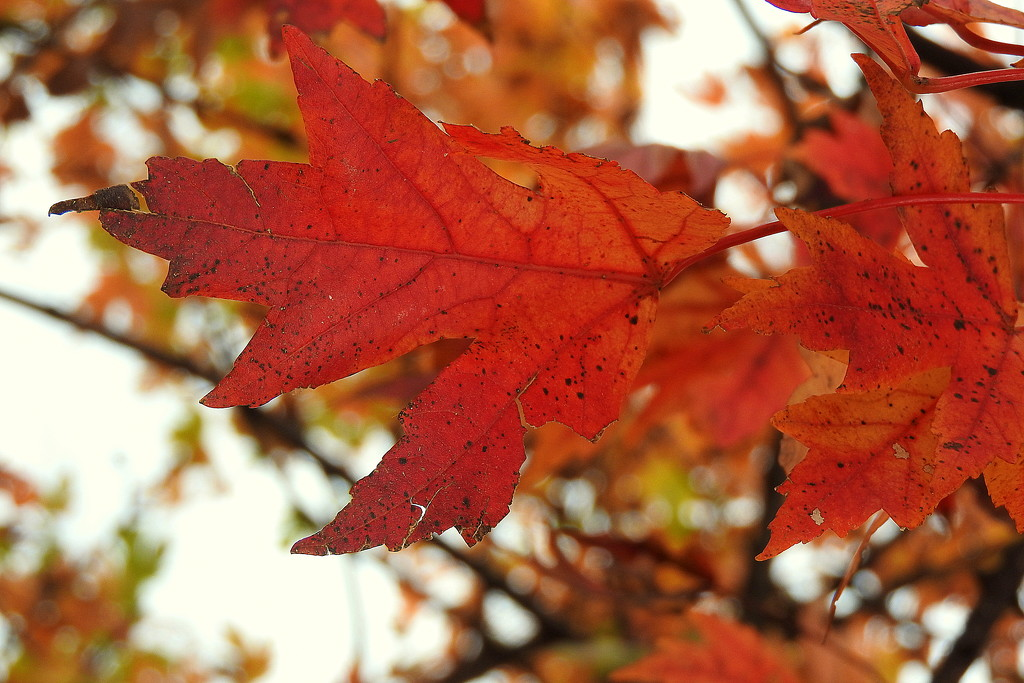 Red Leaves by homeschoolmom