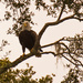 Adult Bald Eagle!