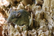 6th Nov 2018 - A wood mouse?