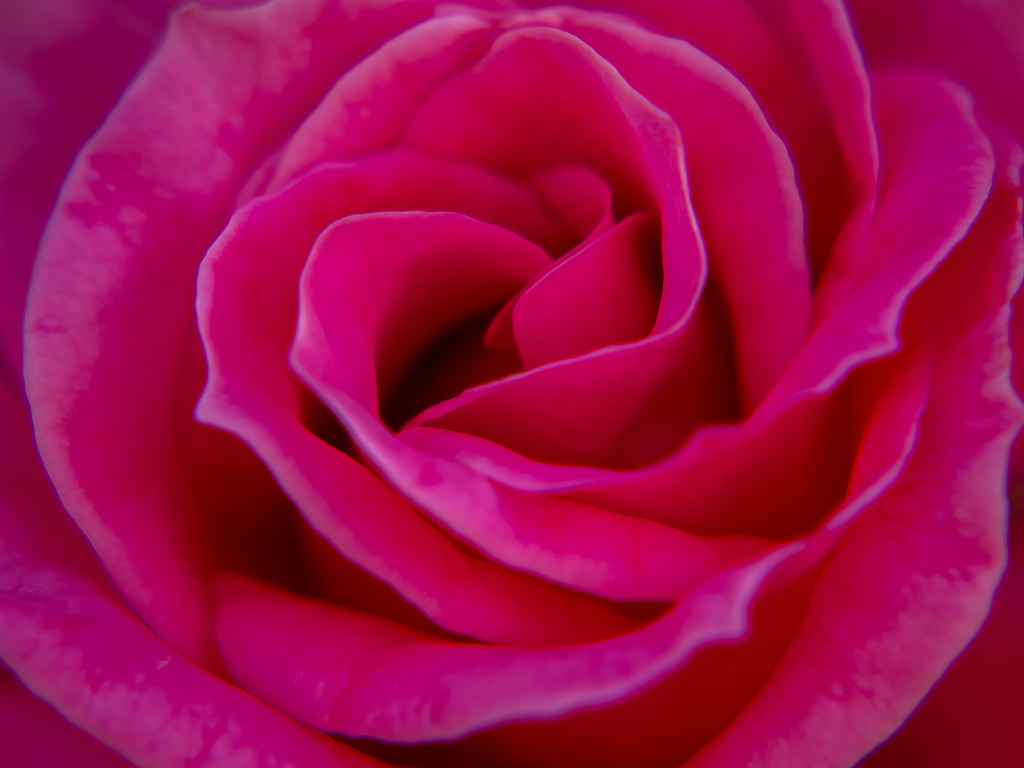 A rose by gosia