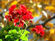 6th Nov 2018 - Our geraniums are still flowering