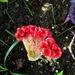 Pijetlova krijesta