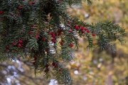 29th Oct 2018 - Evergreen with berries
