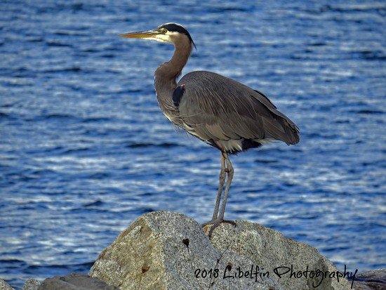 Great Blue Heron by kathyo