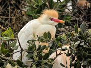 7th Nov 2018 - Cattle Egret,