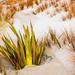 Flax at Stewart Island