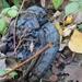 Black Ugly fungi