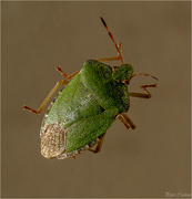 7th Nov 2018 - Green Shield Bug