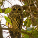 Today's Barred Owl Shot!