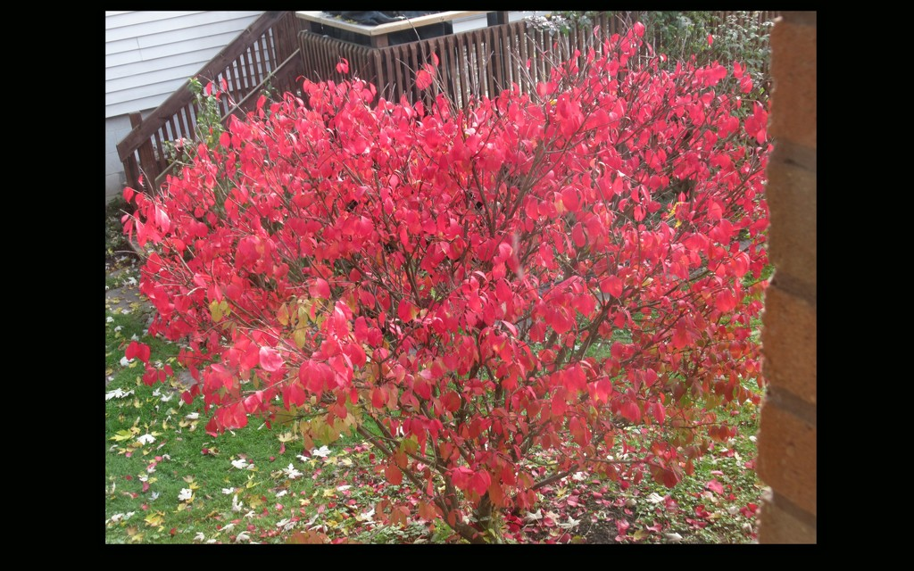 Our burnish bush in it's glory  by bruni