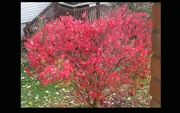 8th Nov 2018 - Our burnish bush in it's glory