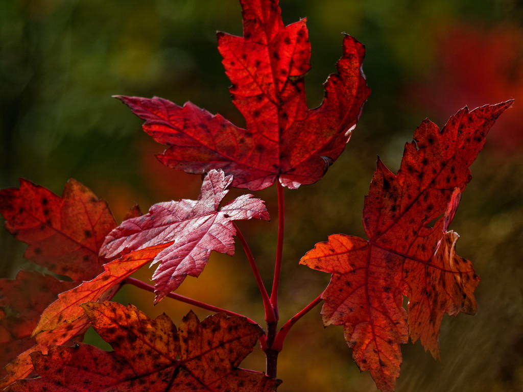 red autumn leaves by rminer