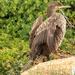 Juvenile Cape Cormorant