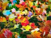 9th Nov 2018 - Bid Farewell To Rainbow Leaves
