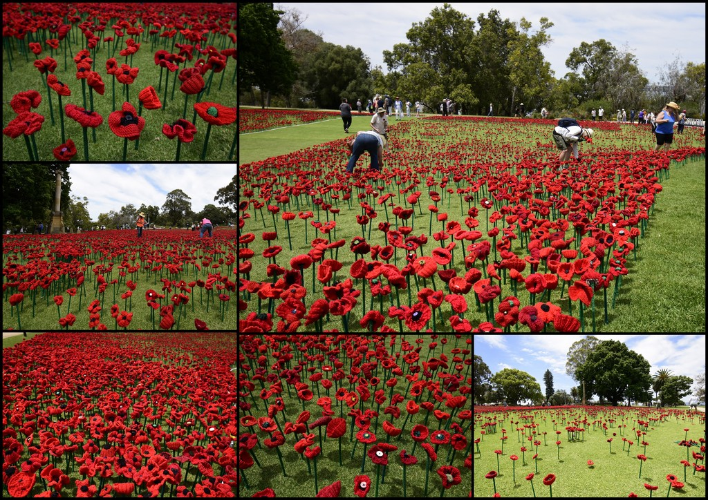 Poppies For Remembrance Day by merrelyn