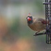 Female Cardinal in the Fall