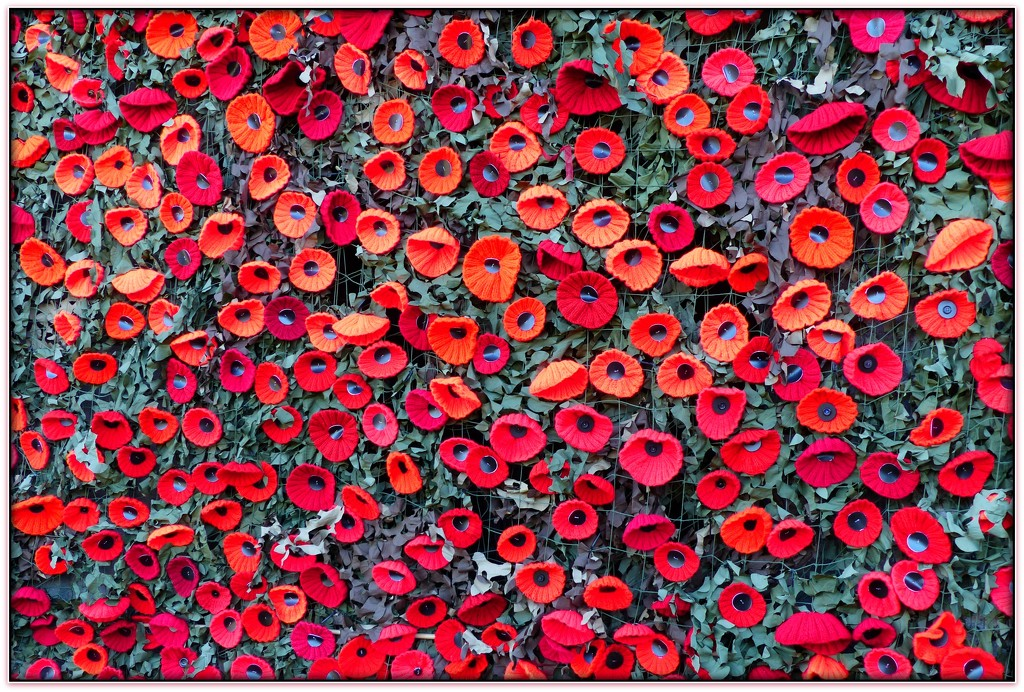 knitted poppies by judithdeacon