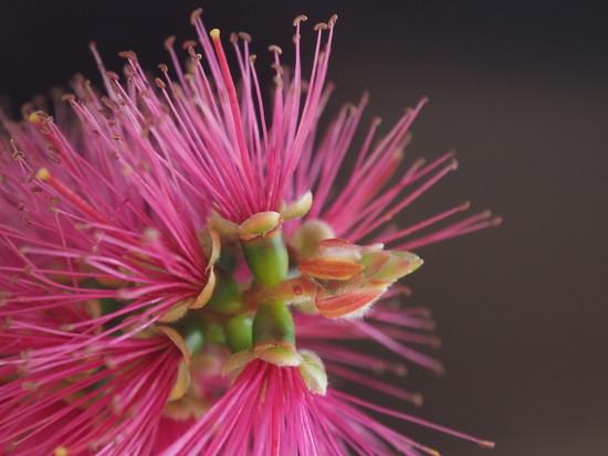 Bottle brush flower by Dawn
