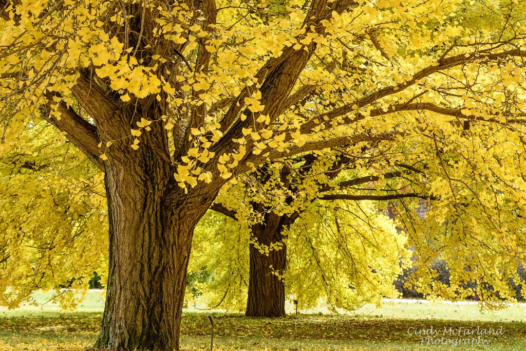 Ginkgo Trees by cindymc