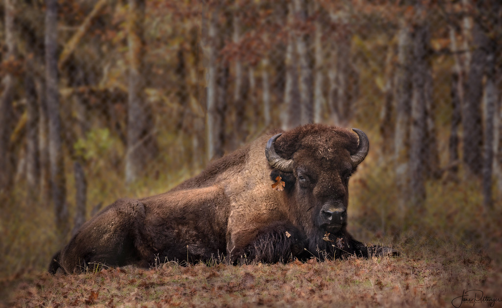 Regal Bison with Earring  by jgpittenger