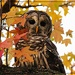 Barred Owl by olivetreeann
