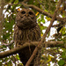 Barred Owl in Mid Hoot!