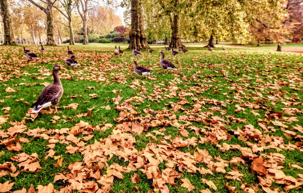Greylags take over St James's Park by boxplayer