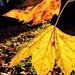 Autumn plane leaves