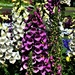 Beautiful Fox Gloves ~