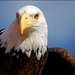 American Eagle by olivetreeann