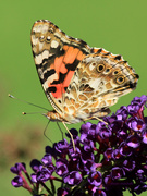 """10th Aug 2018 - """"Painted Lady"""""""