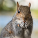 St James's Park Squirrel by humphreyhippo