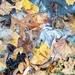 Frozen Leaf Puddles