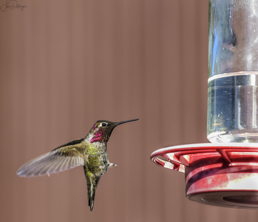 Hummer Putting On His Brakes  by jgpittenger