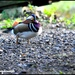 Mandarin duck at Danish Camp