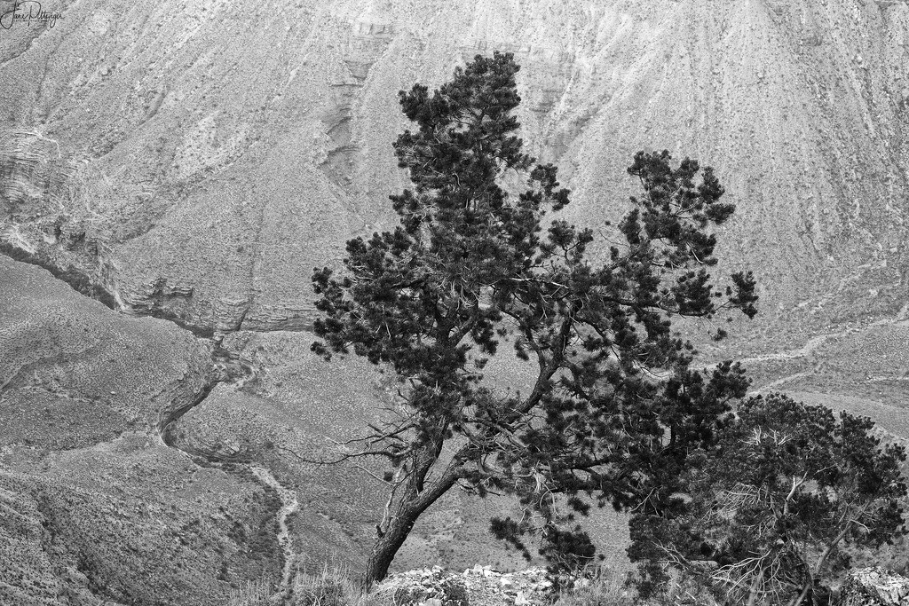 Tree On the Edge for B and W  by jgpittenger