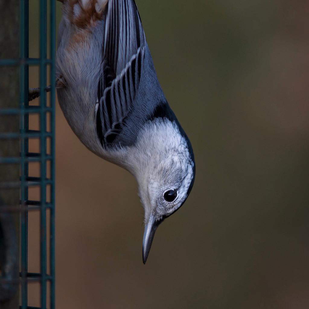 White Breasted Nuthatch by berelaxed