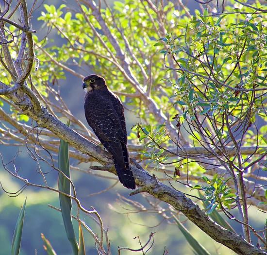 NZ Falcon by kiwinanna
