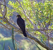 7th Nov 2018 - NZ Falcon