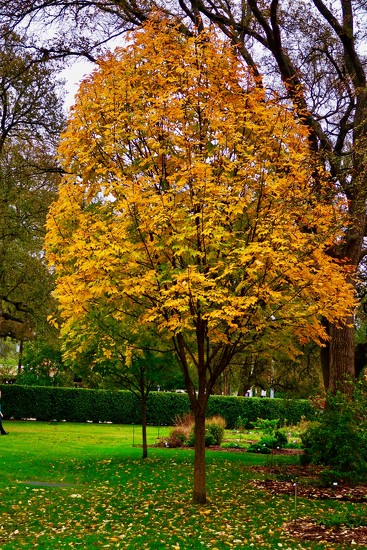 A maple tree at the Arboretum by louannwarren
