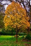12th Nov 2018 - A maple tree at the Arboretum