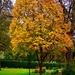 A maple tree at the Arboretum