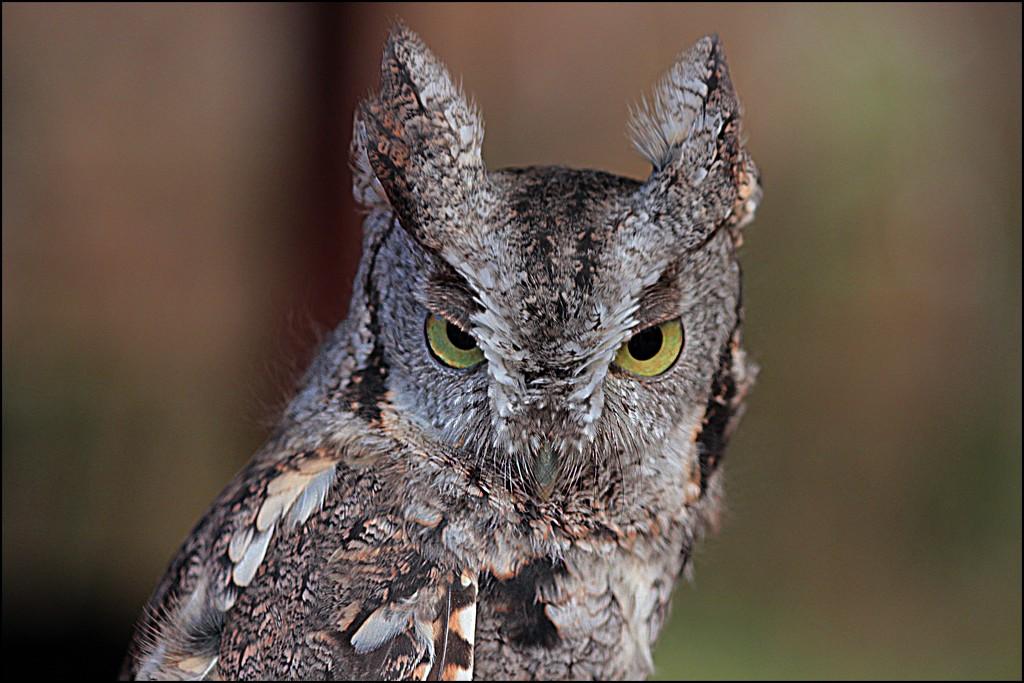 Otis the Screech Owl by olivetreeann