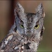 Otis the Screech Owl by olivetreeann