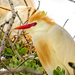 A couple of Cattle Egrets,