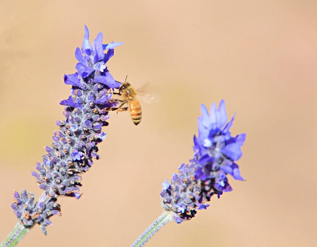 Lavender bee by kiwinanna