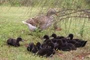 13th Nov 2018 - 10 little goslings......