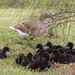 10 little goslings......
