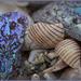 Chatham's Shells