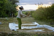 13th Nov 2018 - Sifting the rice